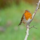 Robin Red Breast by M.S. Photography & Art