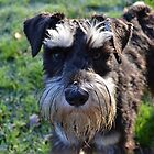 Miniature Schnauzer  by simon17