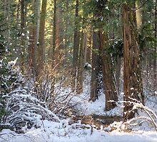 Calavera Redwoods by Diego  Re