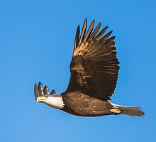 Bald Eagle in Flight by Jim Stiles