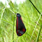 Cinnabar Moth by BlueEyePictures
