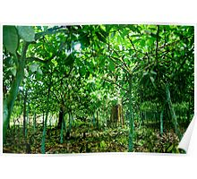 Cocao Trees Poster