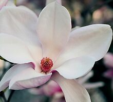 Soft Velvety Magnolias by Gene Walls