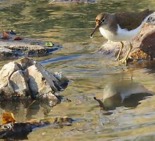 Spotted Sandpiper (Non-breeding Adult) by Kimberly Chadwick