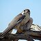 Prairie Falcon~ Eye Contact by Kimberly P-Chadwick