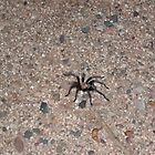 Roosevelt Lake, Arizona Spider Tarantula by ToGalaxy