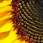 Sunflower Macro by Kenneth Keifer