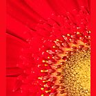 Gerbera Burst iPhone Cover by ImagesbyDi