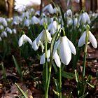 Snowdrops Heskin Hall by Kingsleyc