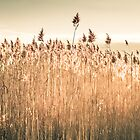 Phragmites, Salt Marsh by Elizabeth Thomas