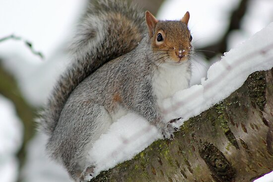 Squirrel in the snow  by AndyLanhamArt