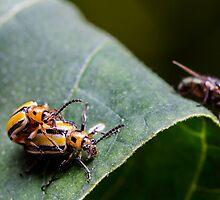 Three lined potato beetles - lema trilineata daturaphila by Normf