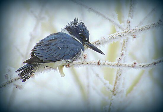 Weathering The Weather...Blue Kingfisher by trueblvr