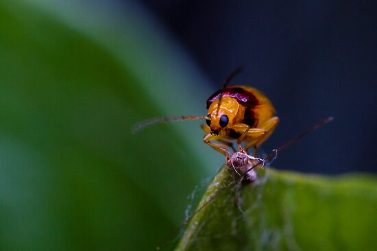 Red-shouldered Leaf Beetle - Monolepta australis (2) by Normf