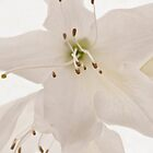 White azalea by SeanBuckley