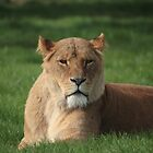 Lioness  by sionyboy82
