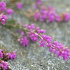 Pink Heather, Dartmoor by Matthew Folley