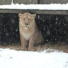 Lioness sheltering from the snow by Sandra Caven