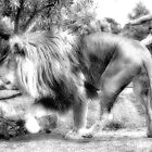 Lion in Black and White by Chris Kiely