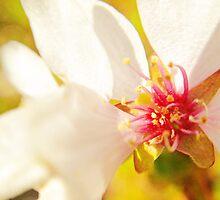 Macro Kwansan Cherry Blossom by Elizabeth Thomas