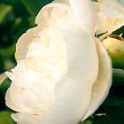 White Peony Flower by Elizabeth Thomas