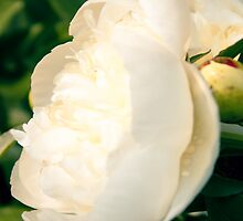 White Peony Flower by Elizabeth Thomas
