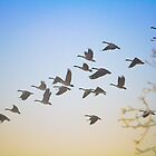 Canadian Geese in Flight by Tobin Rogers