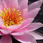 pink waterlily by Jicha