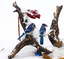 Blue jays in Winter by Randy & Kay Branham