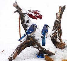 Blue jays in Winter by Randy & Kay Branham