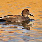 Duck - Gadwall by Dennis Stewart