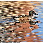 Duck - Northern Shoveler by Dennis Stewart