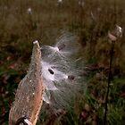 Milkweed l by BavosiPhotoArt