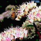 Honey Bee On Sedum l by BavosiPhotoArt