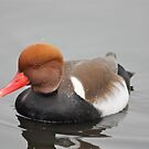 Red Crested Pochard by Dennis the Elder