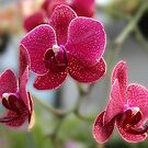 Orchids From Lowe's by Carolyn  Fletcher