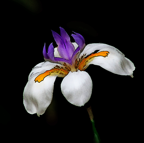 New Zealand Lily by Robyn Carter