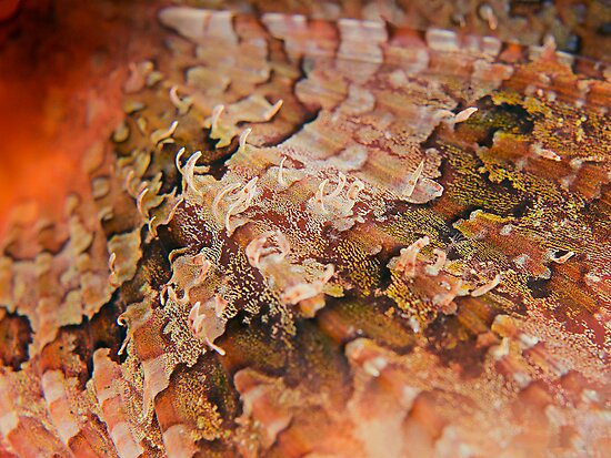 Reef Art - Scorpionfish Fin by Henry Jager