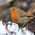 Wintery Robin Redbreast by Blayde666
