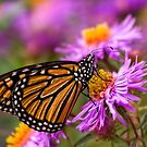 monarch on flowers by Manon Boily
