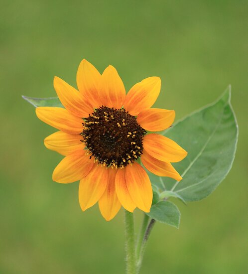 Another sunflower... by Antionette