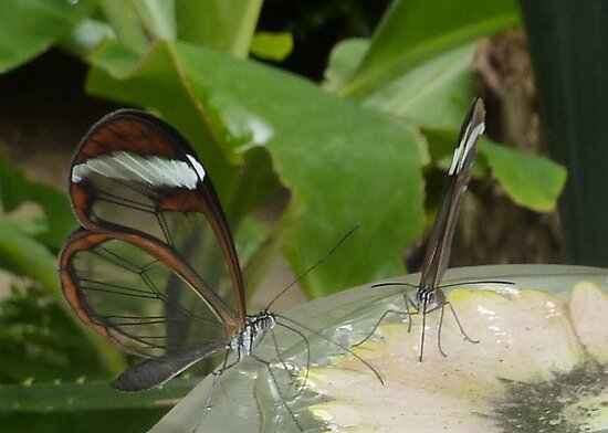 Glasswing butterflies sipping nectar by elsiebarge
