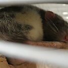Sleeping Rat by ShutteredPieces