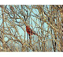 Cardinal I Photographic Print