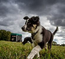 Bordercollie pup by JanPasschier