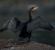 Double Crested Cormorant by toby snelgrove  IPA