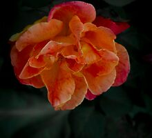 Pink and Orange Vibrancy by Elaine Teague