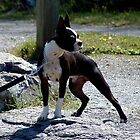 Boston Terrier by Johnny Furlotte