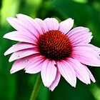 Pink Flower by James Iorfida