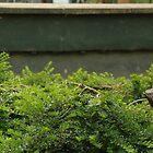 Pondering Meerkat by Rob Page